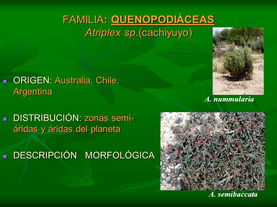 FAMILIA: QUENOPODIÁCEAS Atriplex sp.(cachiyuyo) ORIGEN: Australia, Chile, Argentina ORIGEN: Australia, Chile, Argentina DISTRIBUCIÓN: zonas semi- árid