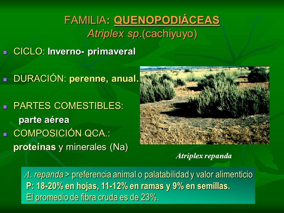 FAMILIA: QUENOPODIÁCEAS Atriplex sp.(cachiyuyo) CICLO: Inverno- primaveral CICLO: Inverno- primaveral DURACIÓN: perenne, anual. DURACIÓN: perenne, anu