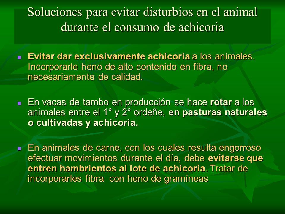 Soluciones para evitar disturbios en el animal durante el consumo de achicoria Evitar dar exclusivamente achicoria a los animales. Incorporarle heno d