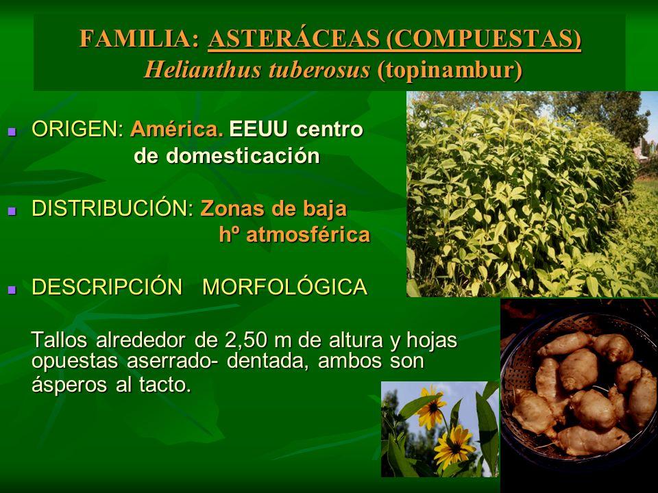 FAMILIA: ASTERÁCEAS (COMPUESTAS) Helianthus tuberosus (topinambur) ORIGEN: América. EEUU centro ORIGEN: América. EEUU centro de domesticación de domes