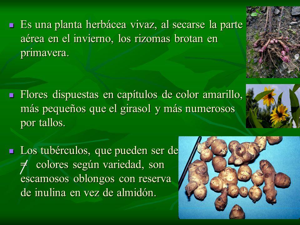 Es una planta herbácea vivaz, al secarse la parte Es una planta herbácea vivaz, al secarse la parte aérea en el invierno, los rizomas brotan en aérea
