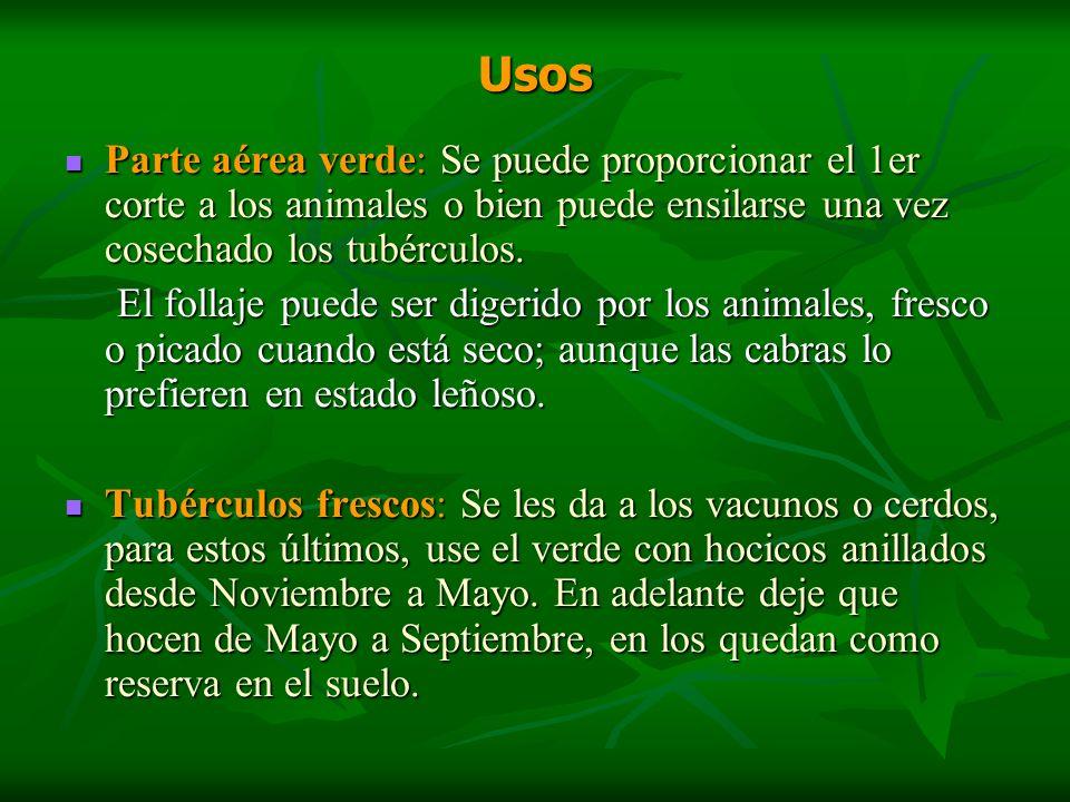 Usos Parte aérea verde: Se puede proporcionar el 1er corte a los animales o bien puede ensilarse una vez cosechado los tubérculos. Parte aérea verde: