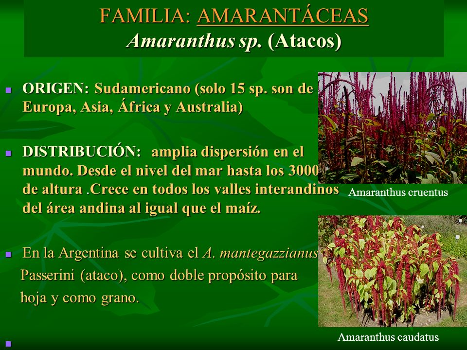 FAMILIA: AMARANTÁCEAS Amaranthus sp. (Atacos) ORIGEN: Sudamericano (solo 15 sp. son de Europa, Asia, África y Australia) ORIGEN: Sudamericano (solo 15