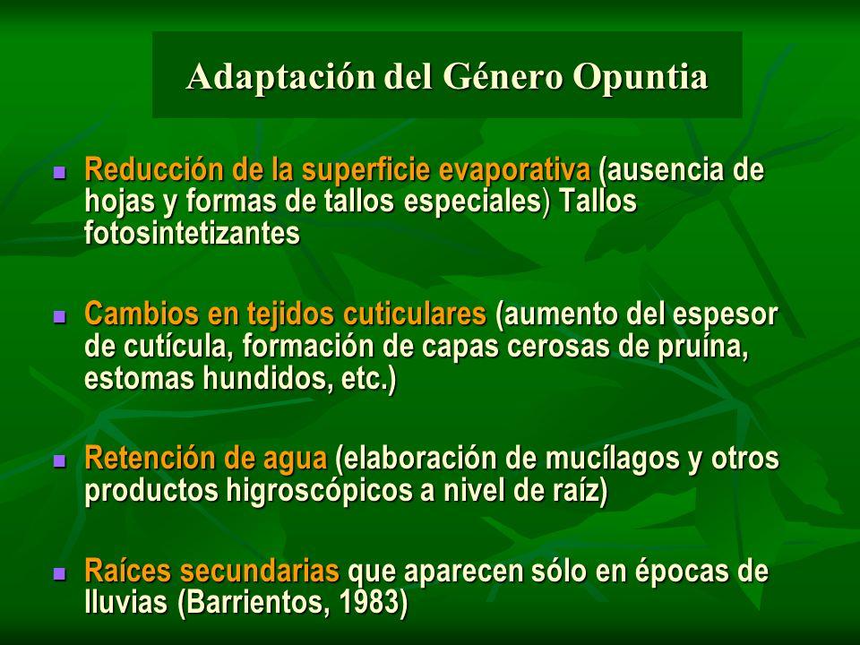 Adaptación del Género Opuntia Reducción de la superficie evaporativa (ausencia de hojas y formas de tallos especiales ) Tallos fotosintetizantes Reduc