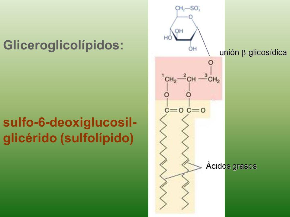 Gliceroglicolípidos: di-galactosil- glicérido ácidos grasos unión -glicosídica glicerol