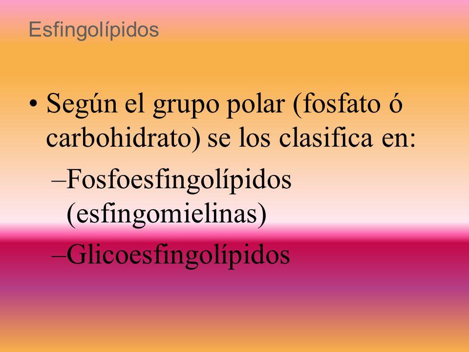 Esfingolípidos Lípidos que derivan de la ceramida Formados por –esfingosina (amino alcohol insaturado de 18 C) –ácido graso –un grupo polar (fosfato,