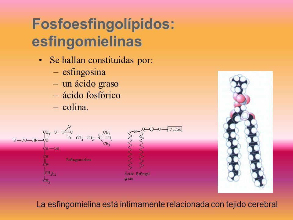 Compuestos semejantes a gangliósidos pero la porción glucídica es de mayor complejidad. Unido a la ceramida poseen un oligosacárido compuesto por vari