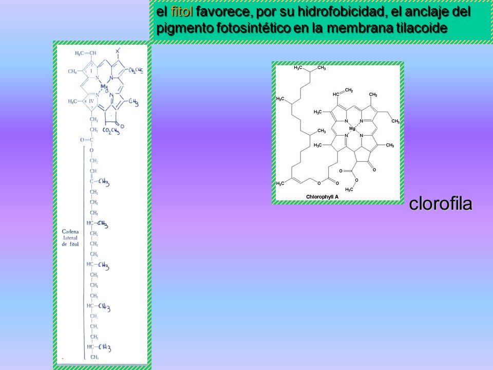 Terpenos diterpeno: fitol diterpeno: Giberelina Fitohormona Compuesto natural que actúa como regulador endógeno del crecimiento y desarrollo de vegeta