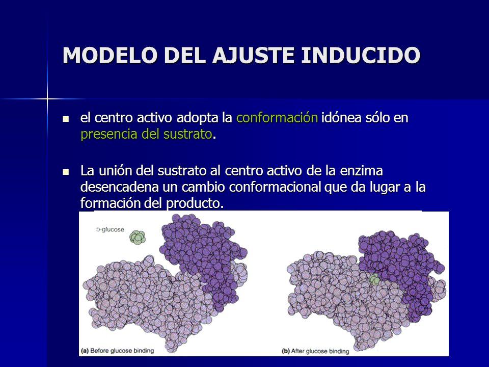 MODELO DEL AJUSTE INDUCIDO el centro activo adopta la conformación idónea sólo en presencia del sustrato. el centro activo adopta la conformación idón
