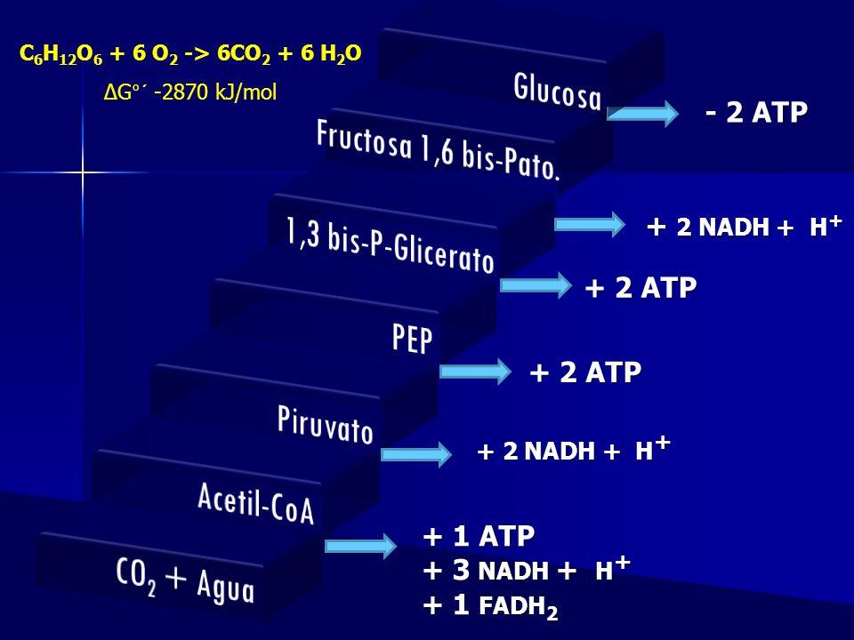 - 2 ATP + 2 NADH + H + + 2 ATP + 2 NADH + H + + 1 ATP + 3 NADH + H + + 1 FADH 2 + 2 ATP C 6 H 12 O 6 + 6 O 2 -> 6CO 2 + 6 H 2 O G°´ -2870 kJ/mol