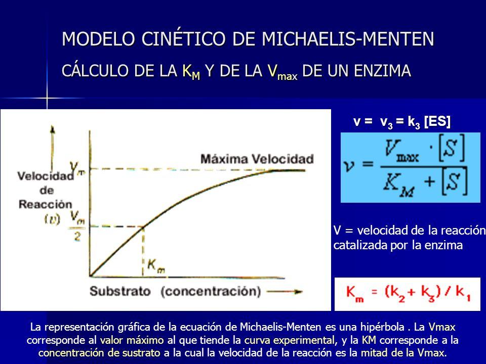 MODELO CINÉTICO DE MICHAELIS-MENTEN CÁLCULO DE LA K M Y DE LA V max DE UN ENZIMA v = v 3 = k 3 [ES] V = velocidad de la reacción catalizada por la enz