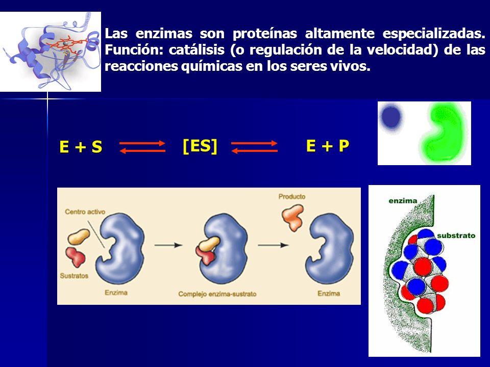 Las enzimas son proteínas altamente especializadas. Función: catálisis (o regulación de la velocidad) de las reacciones químicas en los seres vivos. E