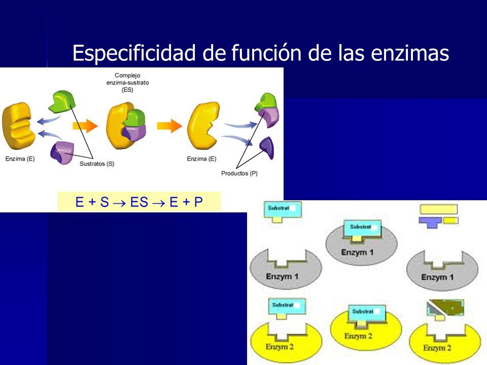 Regulación de la actividad enzimática por ACTIVACIÓN PROTEOLÍTICA Algunos enzimas no se sintetizan como E activa, sino como proteínas precursoras sin actividad enzimática.