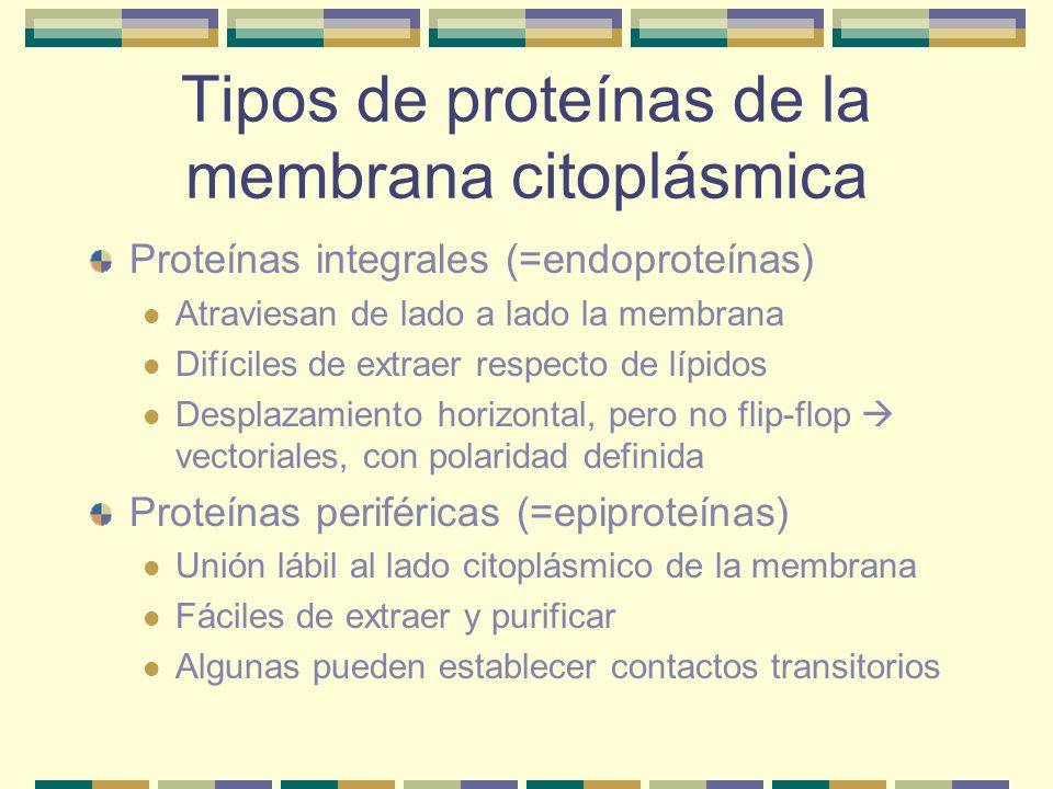 Tipos de proteínas de la membrana citoplásmica Proteínas integrales (=endoproteínas) Atraviesan de lado a lado la membrana Difíciles de extraer respec