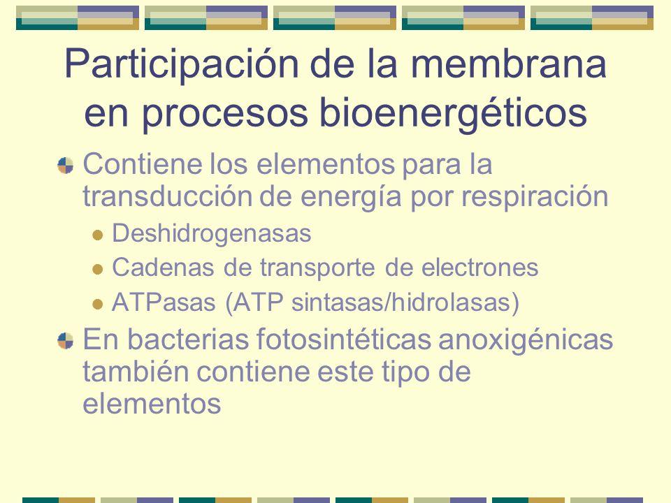 Participación de la membrana en procesos bioenergéticos Contiene los elementos para la transducción de energía por respiración Deshidrogenasas Cadenas