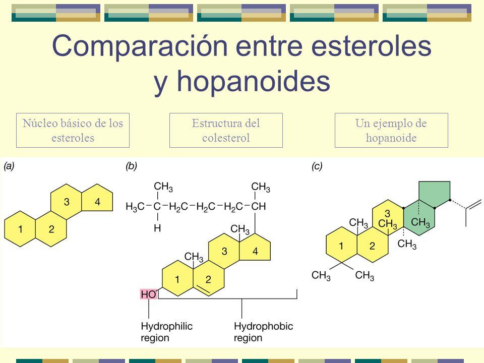 Comparación entre esteroles y hopanoides Núcleo básico de los esteroles Estructura del colesterol Un ejemplo de hopanoide