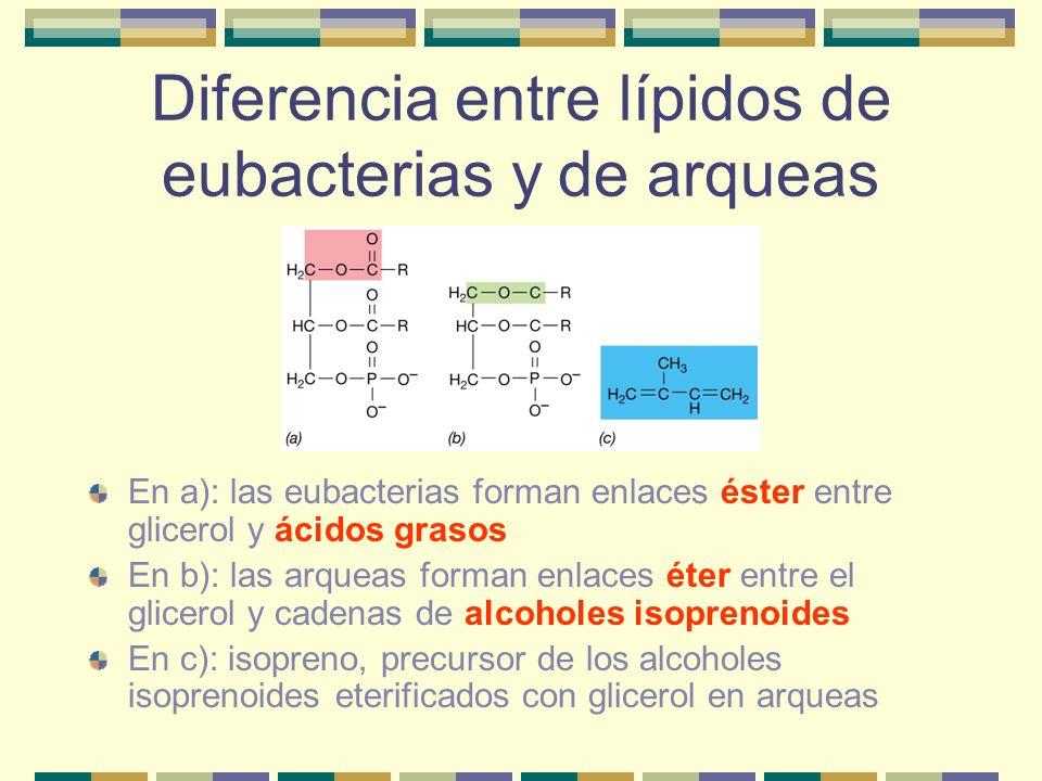Diferencia entre lípidos de eubacterias y de arqueas En a): las eubacterias forman enlaces éster entre glicerol y ácidos grasos En b): las arqueas for