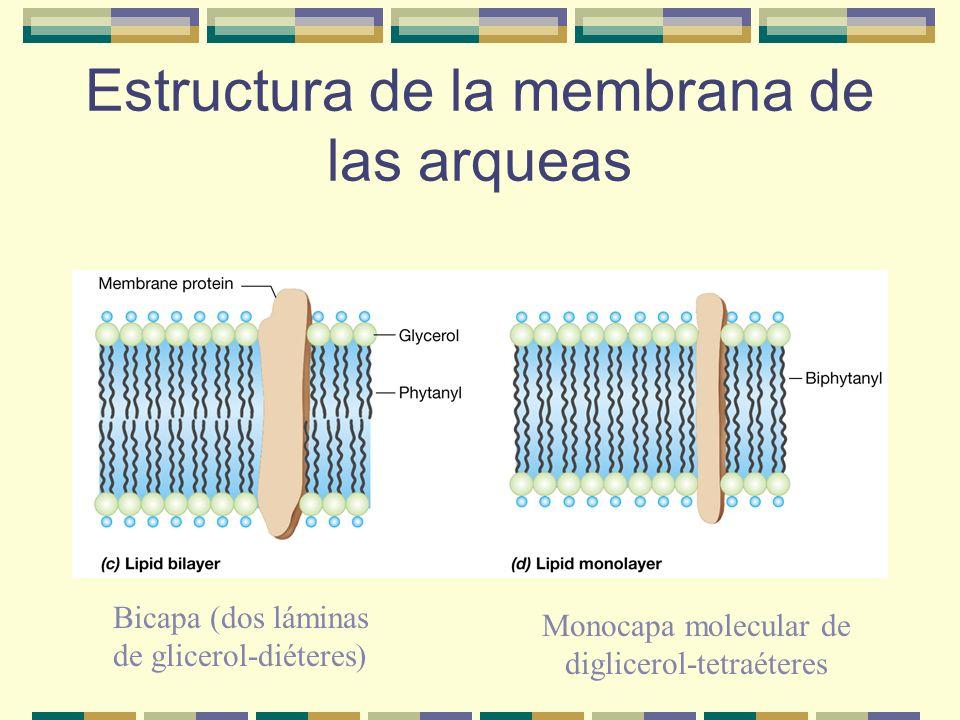 Estructura de la membrana de las arqueas Bicapa (dos láminas de glicerol-diéteres) Monocapa molecular de diglicerol-tetraéteres