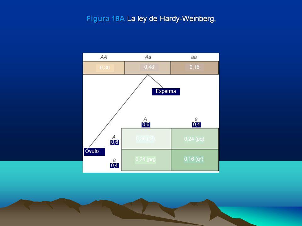 Figura 19A La ley de Hardy-Weinberg. Esperma 0,36 (p 2 ) 0,24 (pq) 0,16 (q 2 ) 0,24 (pq) Óvulo 0,6 0,4 0,6 0,4 0,36 0,480,16