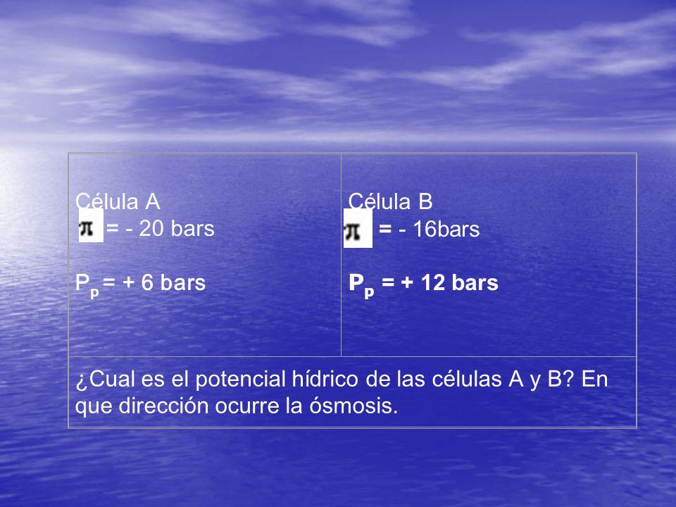 Célula A = - 20 bars P p = + 6 bars Célula B = - 16bars P p = + 12 bars ¿Cual es el potencial hídrico de las células A y B? En que dirección ocurre la