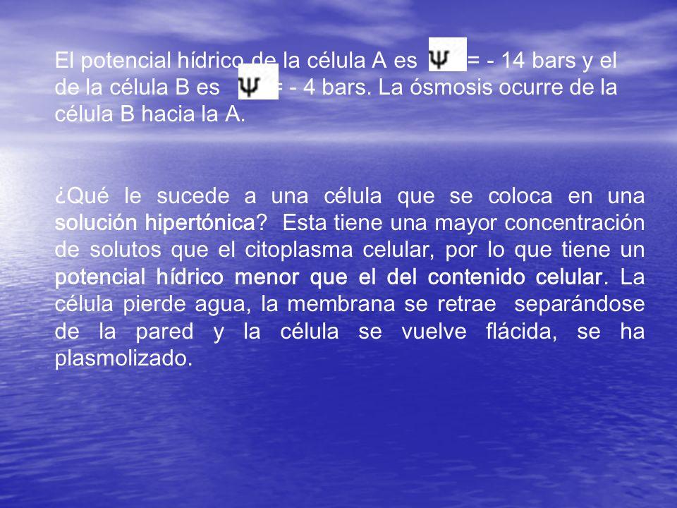 El potencial hídrico de la célula A es = - 14 bars y el de la célula B es = - 4 bars. La ósmosis ocurre de la célula B hacia la A. ¿ Qué le sucede a u