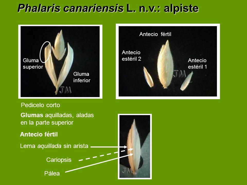 Phalaris Canariensis Phalaris canariensis L  n v