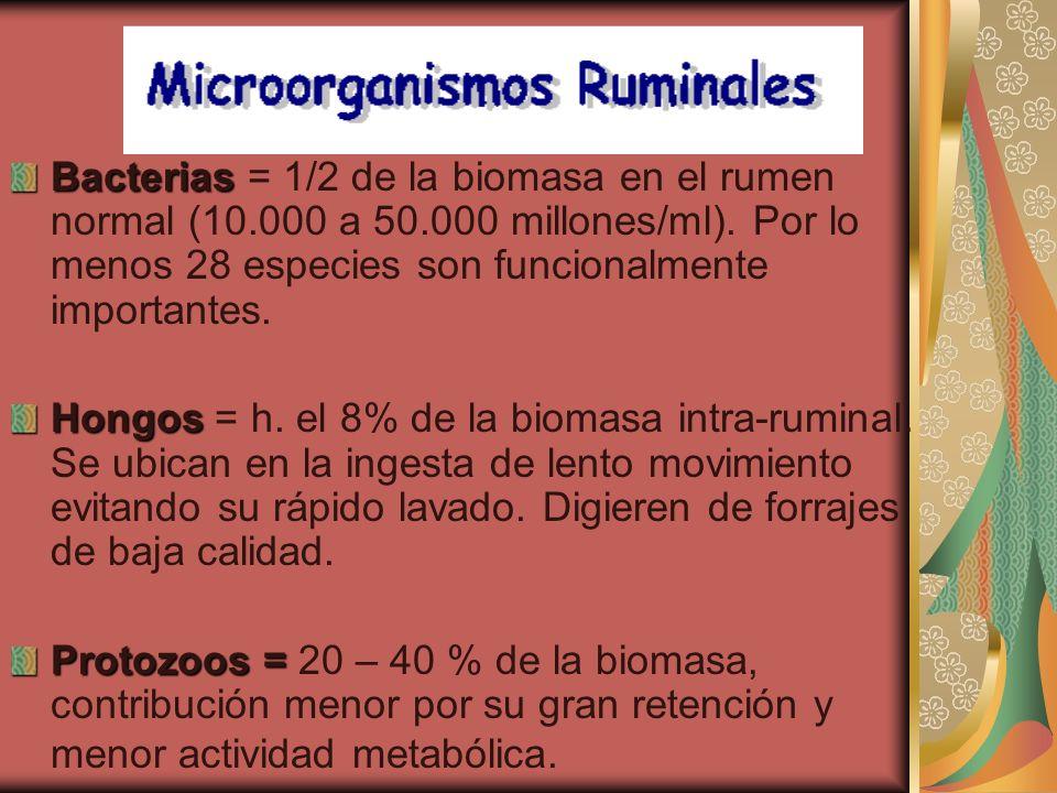 Bacterias Bacterias = 1/2 de la biomasa en el rumen normal (10.000 a 50.000 millones/ml). Por lo menos 28 especies son funcionalmente importantes. Hon