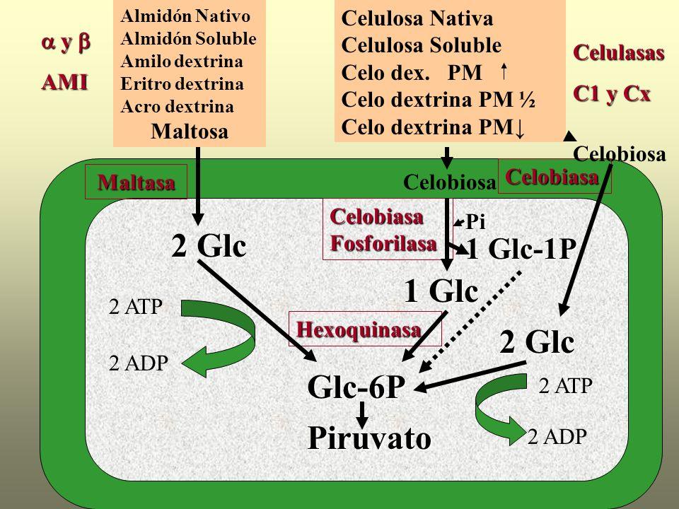 y y AMI Almidón Nativo Almidón Soluble Amilo dextrina Eritro dextrina Acro dextrina MaltosaMaltasa 2 Glc Glc-6P Hexoquinasa 2 ATP 2 ADP Celobiasa Celu