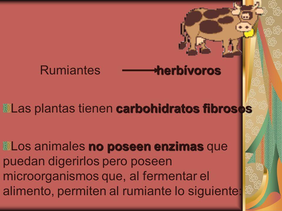 herbívoros Rumiantes herbívoros carbohidratos fibrosos Las plantas tienen carbohidratos fibrosos no poseen enzimas Los animales no poseen enzimas que