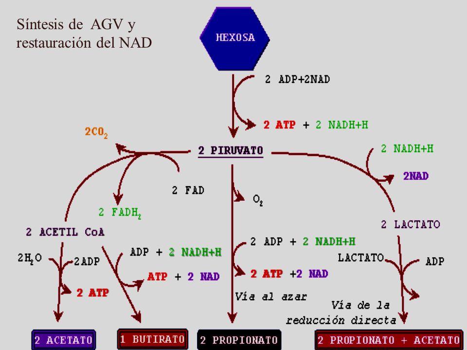 Síntesis de AGV y restauración del NAD