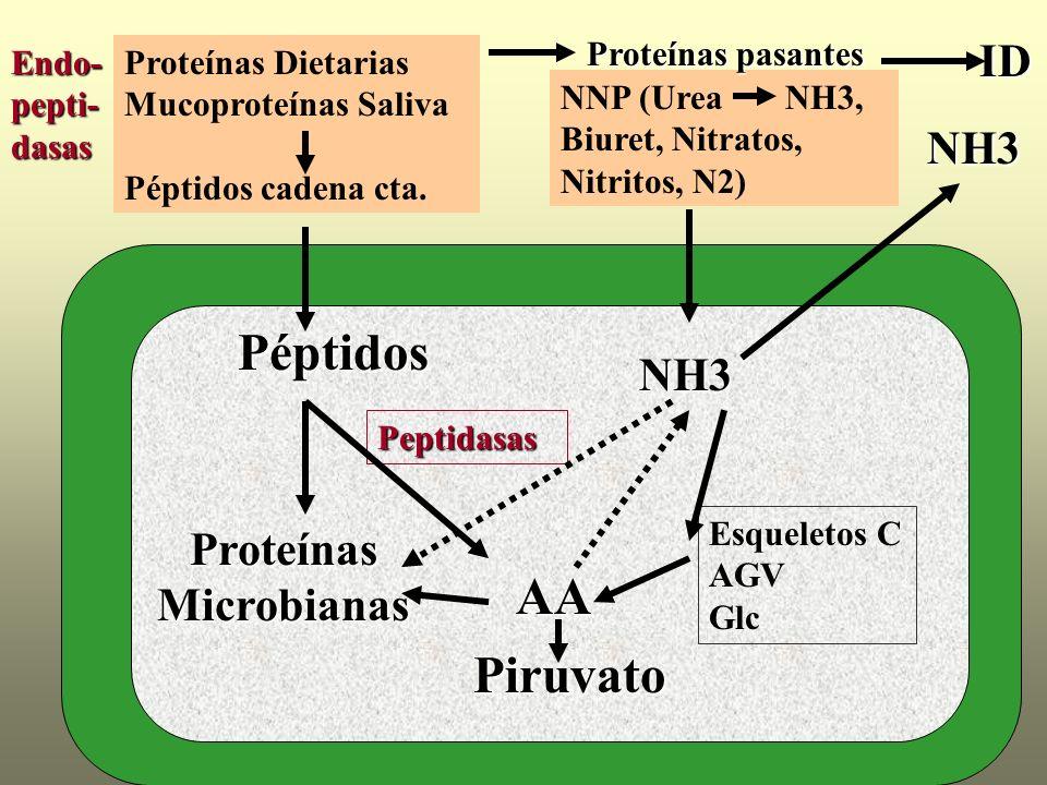 Endo- pepti- dasas Proteínas Dietarias Mucoproteínas Saliva Péptidos cadena cta. Péptidos AA Peptidasas NNP (Urea NH3, Biuret, Nitratos, Nitritos, N2)
