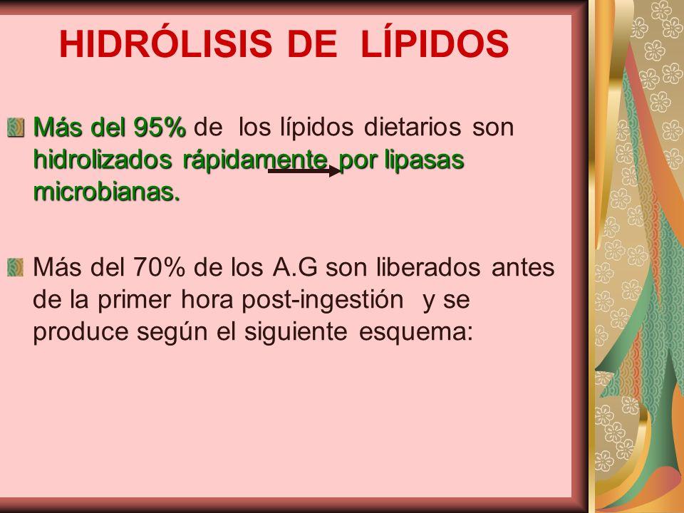 HIDRÓLISIS DE LÍPIDOS Más del 95% hidrolizados rápidamente por lipasas microbianas. Más del 95% de los lípidos dietarios son hidrolizados rápidamente