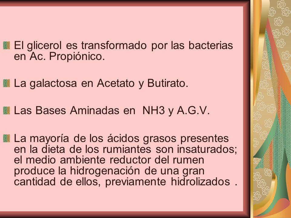 El glicerol es transformado por las bacterias en Ac. Propiónico. La galactosa en Acetato y Butirato. Las Bases Aminadas en NH3 y A.G.V. La mayoría de