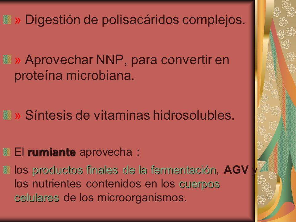 » Digestión de polisacáridos complejos. » Aprovechar NNP, para convertir en proteína microbiana. » Síntesis de vitaminas hidrosolubles. rumiante El ru