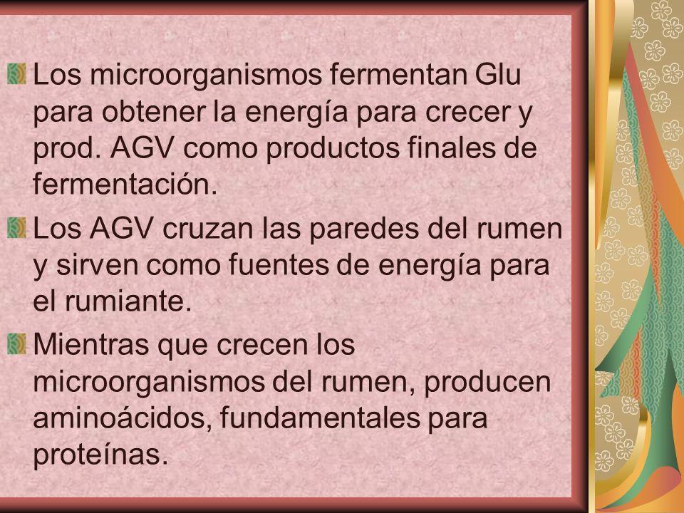 Los microorganismos fermentan Glu para obtener la energía para crecer y prod. AGV como productos finales de fermentación. Los AGV cruzan las paredes d