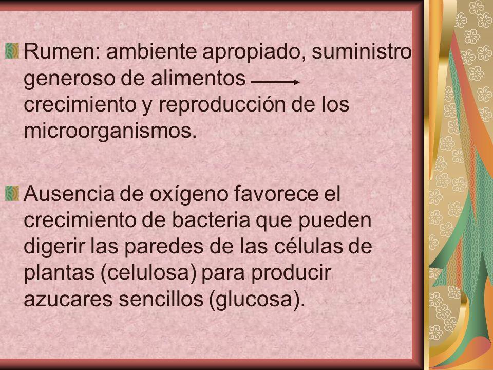 Rumen: ambiente apropiado, suministro generoso de alimentos crecimiento y reproducción de los microorganismos. Ausencia de oxígeno favorece el crecimi
