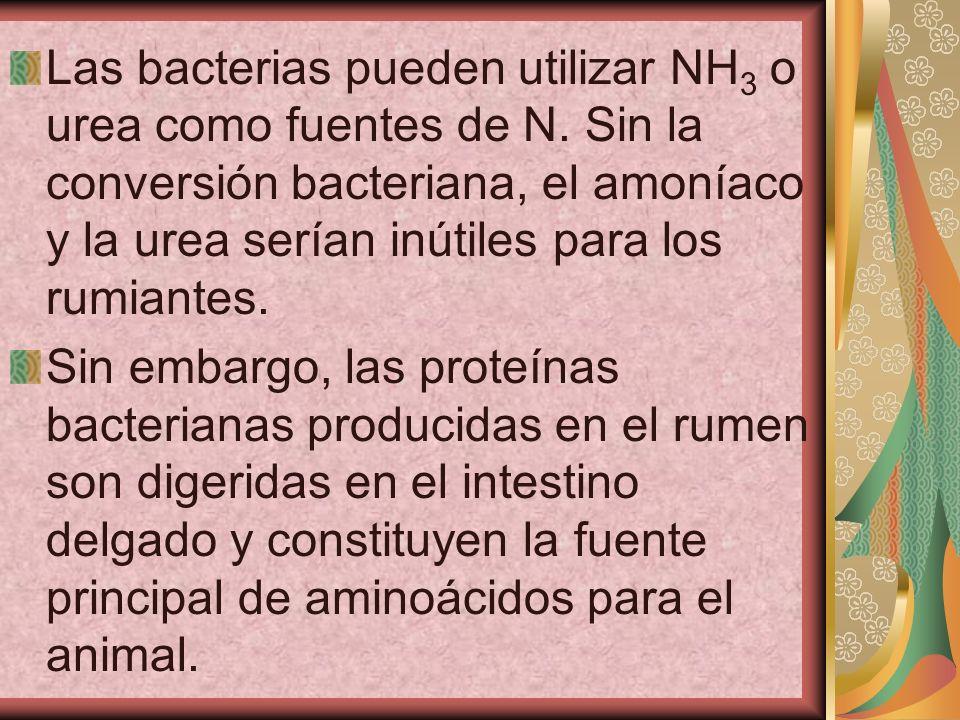 Las bacterias pueden utilizar NH 3 o urea como fuentes de N. Sin la conversión bacteriana, el amoníaco y la urea serían inútiles para los rumiantes. S