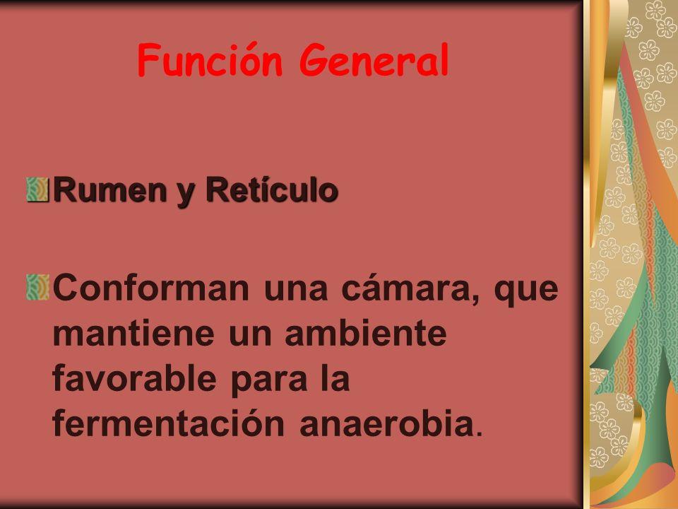 Función General Rumen y Retículo Conforman una cámara, que mantiene un ambiente favorable para la fermentación anaerobia.