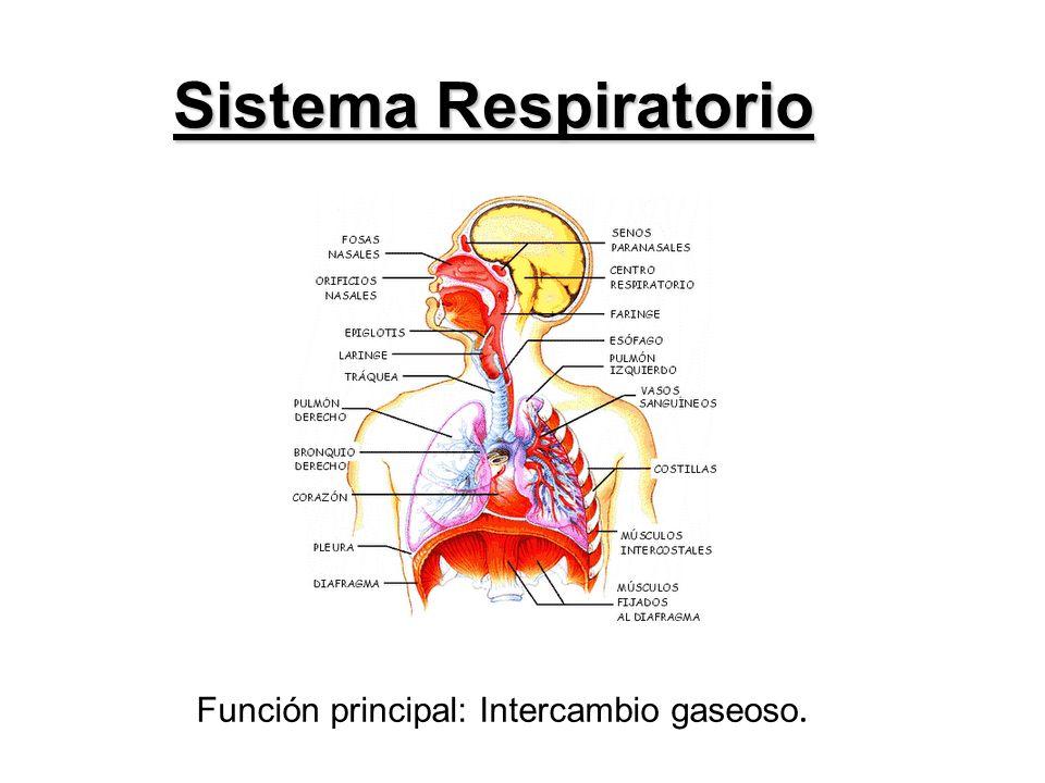 Sistema Respiratorio Función principal: Intercambio gaseoso.