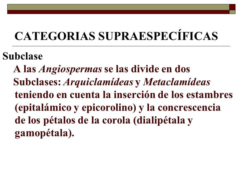 CATEGORIAS SUPRAESPECÍFICAS Subclase A las Angiospermas se las divide en dos Subclases: Arquiclamídeas y Metaclamídeas teniendo en cuenta la inserción