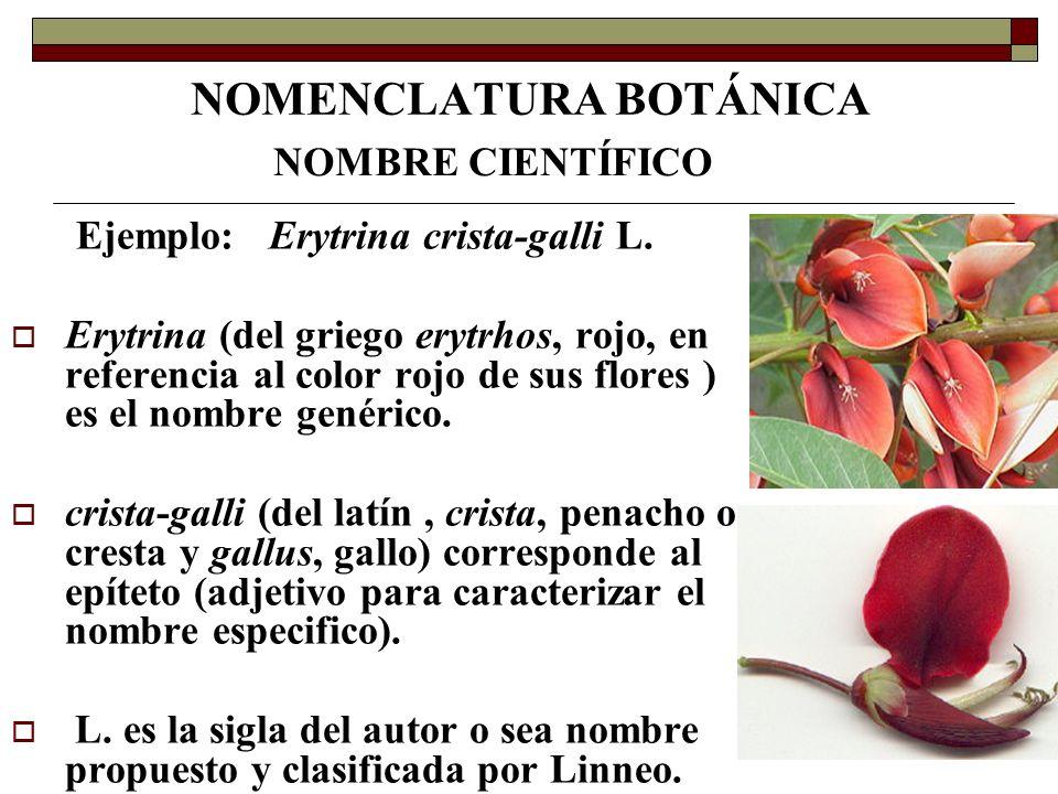 NOMENCLATURA BOTÁNICA Ejemplo: Erytrina crista-galli L. Erytrina (del griego erytrhos, rojo, en referencia al color rojo de sus flores ) es el nombre