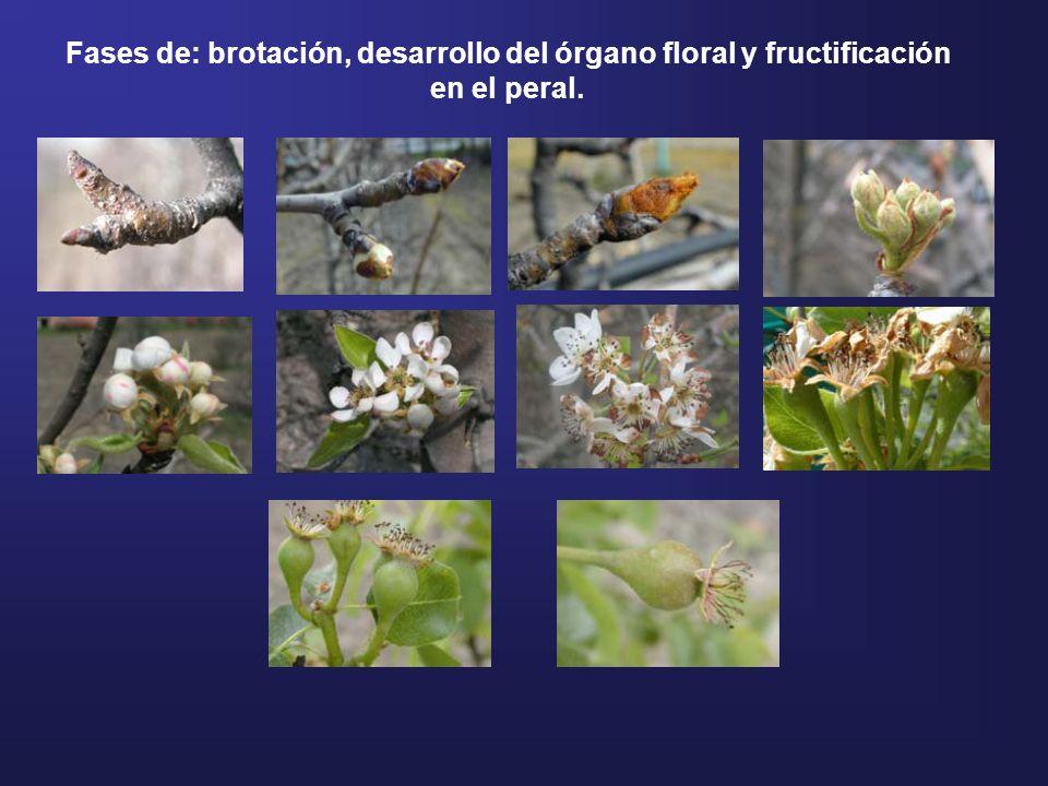 Fases de: brotación, desarrollo del órgano floral y fructificación en el peral.