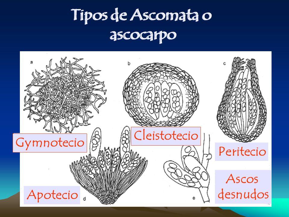 Gymnotecio Cleistotecio Peritecio Apotecio Ascos desnudos Tipos de Ascomata o ascocarpo Tipos de Ascomata o ascocarpo