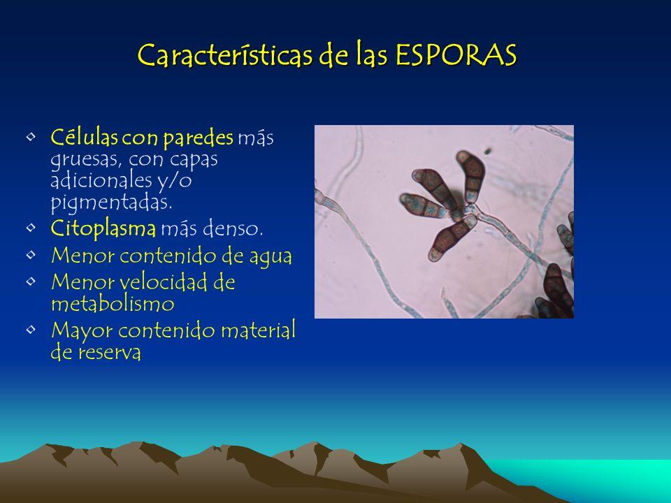 Características de las ESPORAS Células con paredes más gruesas, con capas adicionales y/o pigmentadas. Citoplasma más denso. Menor contenido de agua.