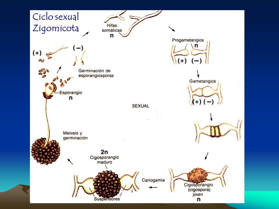 Ciclo sexual de ascomicota