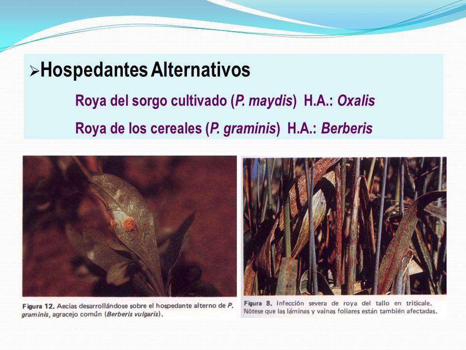 Hospedantes Alternativos Roya del sorgo cultivado ( P. maydis ) H.A.: Oxalis Roya de los cereales ( P. graminis ) H.A.: Berberis