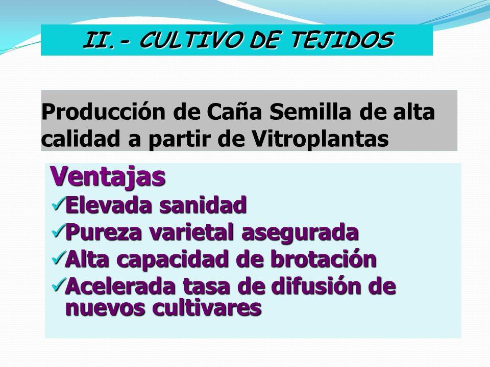 Producción de Caña Semilla de alta calidad a partir de Vitroplantas Ventajas Elevada sanidad Elevada sanidad Pureza varietal asegurada Pureza varietal