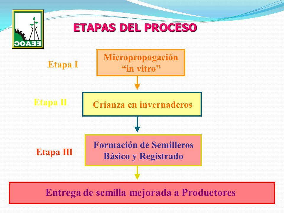 ETAPAS DEL PROCESO Micropropagación in vitro Etapa I Crianza en invernaderos Etapa II Formación de Semilleros Básico y Registrado Etapa III Entrega de