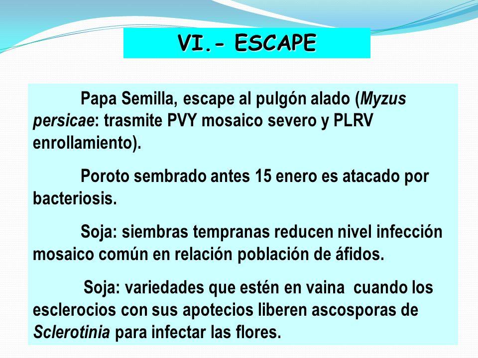 VI.- ESCAPE Papa Semilla, escape al pulgón alado ( Myzus persicae : trasmite PVY mosaico severo y PLRV enrollamiento). Poroto sembrado antes 15 enero