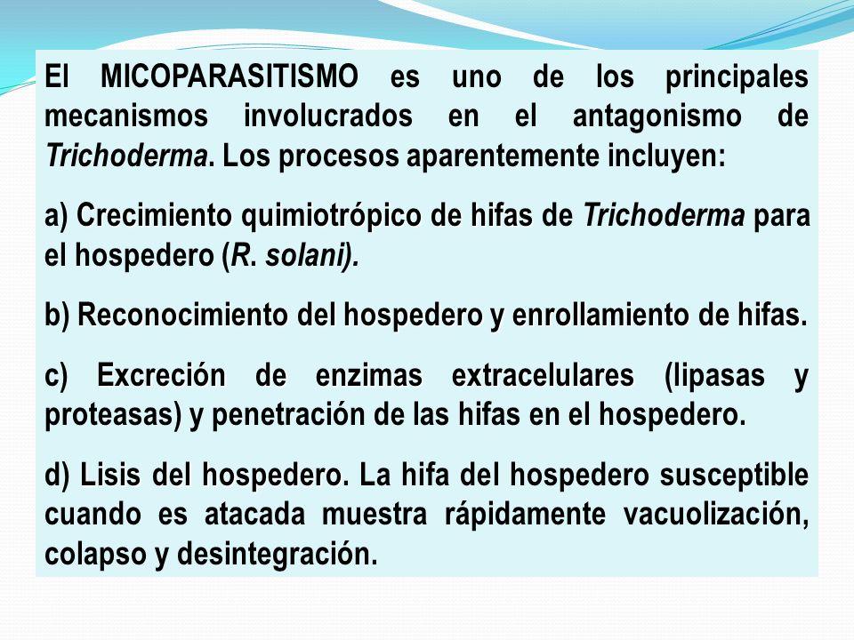 El MICOPARASITISMO es uno de los principales mecanismos involucrados en el antagonismo de Trichoderma. Los procesos aparentemente incluyen: Crecimient